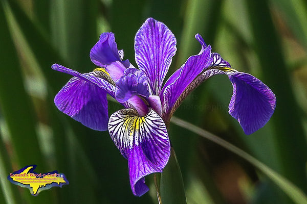 Michigan Photography Wild Iris Flower Photo