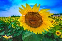 Sunflowers Michigan Nature Photos For Sale