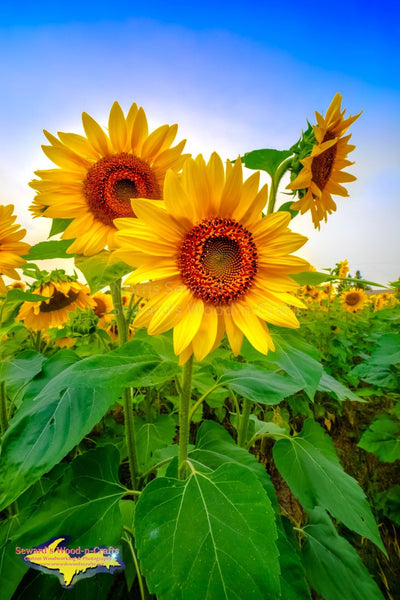 Michigan Photography Sunflowers