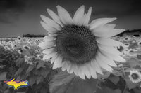 Sunflowers Black & White Photography