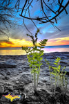 Michigan Royalty Free Stock Images Pictured Rocks Fern Sunset