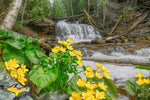 Michigan Landscape Photography Marsh Marigolds At Wagner Falls Munising, Michigan Pictured Rocks Photos