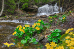 Michigan Landscape Photography Marsh Marigolds At Wagner Falls Pictured Rocks