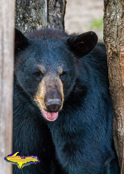 Black Bear Michigan Wildlife Photo Images For Sale Best Prices