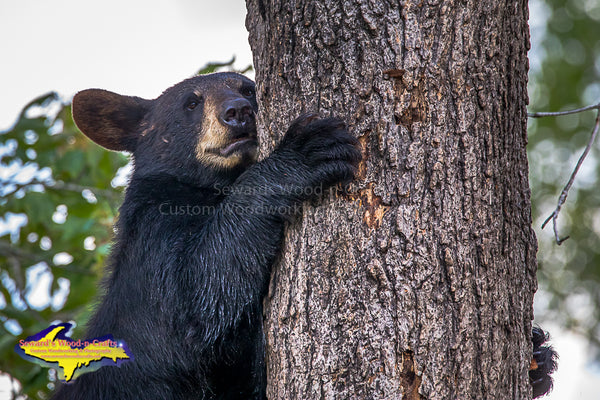 Black Bear Michigan's Upper Peninsula Wildlife Photo Images For Sale