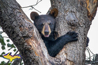 Wildlife Bear Cub-1260 ~ Michigan Photos, Prints, & Gifts