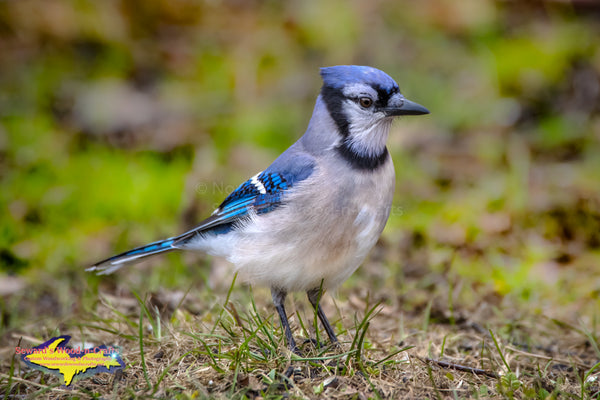Michigan Wildlife Photography Blue Jay -1885