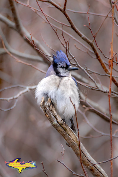 Michigan Wildlife Photography  Blue Jay all puffed up trying to stay warm
