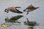 Canadian Geese Michigan Wildlife Photo Michigan's Upper Peninsula Photography
