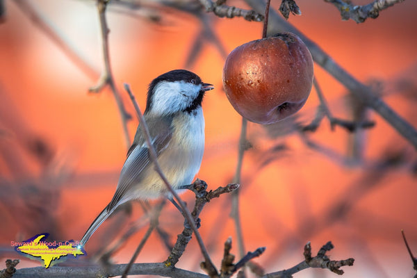 Michigan Wildlife Photography Chickadee taking water drops from an apple