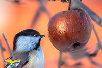 Michigan Wildlife Photography Chickadee looking at an apple