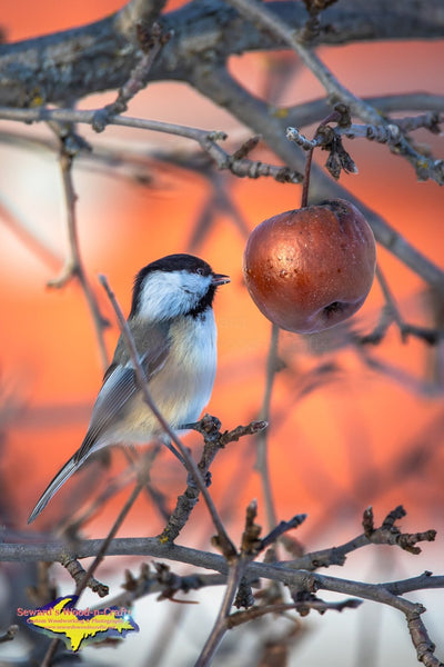 Michigan Wildlife Photography Chickadee in an apple tree