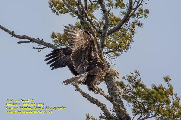 Bald Eagle Michigan Wildlife Photo Michigan's Upper Peninsula Photography For Sale Great Prices