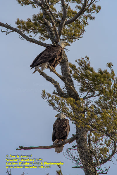 Bald Eagles Michigan Wildlife Photo Michigan's Upper Peninsula Photography For Sale