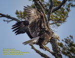 The Eagle Has Landed Michigan Wildlife Photo