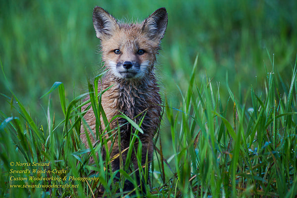 Red Fox Michigan Wildlife Photo For Sale