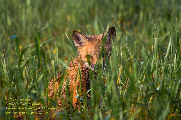 Michigan Wildlife Photography Fox pup peaking through the tall grass! Photos