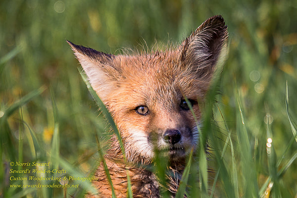 Red Fox Michigan Wildlife Photos For Sale