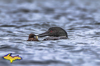 Wildlife Common Loon Photos For Sale