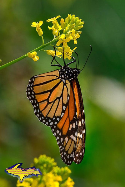 Monarch Butterfly Michigan Nature Photo