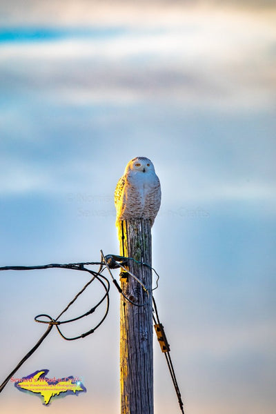 Michigan Photography Snowy Owl Wildlife Photo Image Michigan Art For Sale