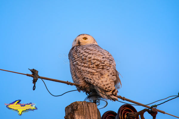 Michigan Photography Snowy Owl Wildlife Photography Michigan Art For Sale