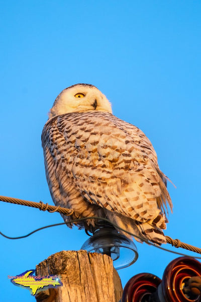 Michigan Photography Snowy Owl Sunbathing Wildlife Photo Michigan Art Home Office Decor
