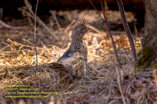Ruffed Grouse (Partridge) Michigan Upper Peninsula Wildlife Photos