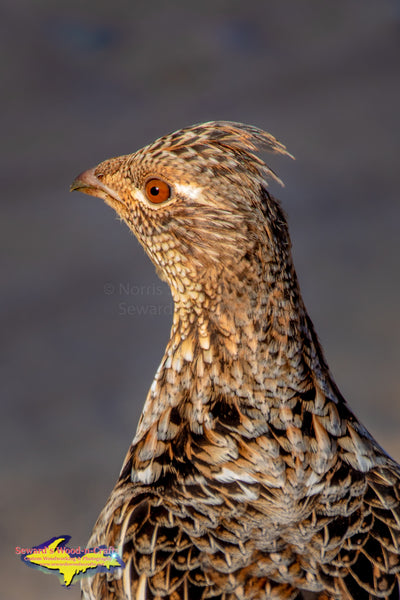 Michigan Wildlife Photography  Ruffed Grouse (Partridge) Photos