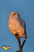 Snowy Owl Michigan Wildlife Photo Michigan's Upper Peninsula Photography For Sale