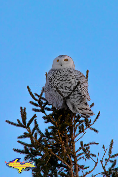 Michigan Upper Peninsula Photography Snowy Owl Wildlife Photos