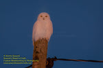 Michigan Photography Snowy Owl In The Night Michigan Wildlife Photos