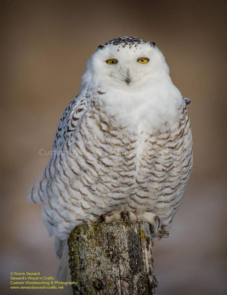 Snowy Owl Photo For Sale Michigan Upper Peninsula Photography By Norris Seward