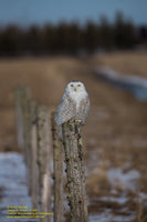 Snowy Owl Photo Michigan's Upper Peninsula Photography Best Prices On Prints