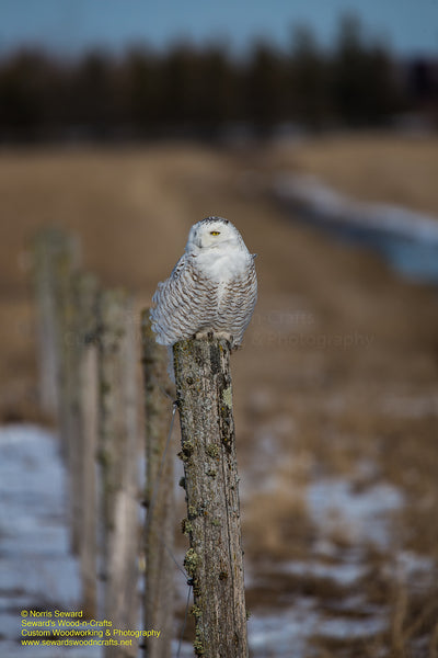 Snowy Owl Michigan Wildlife Photo For Sale Best Prices