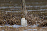 Snowy Owl Photo Michigan's Upper Peninsula Photography For Sale