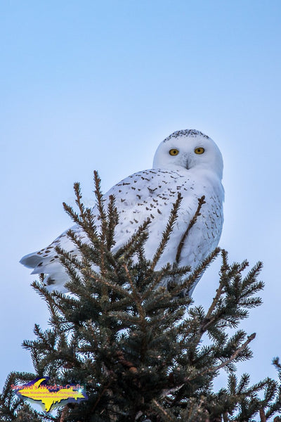 Snowy Owl Wildlife Photos Best prices on wildlife prints