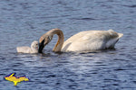 Michigan Photography Wildlife Swan & Cygnets at Seney National Wildlife Refuge