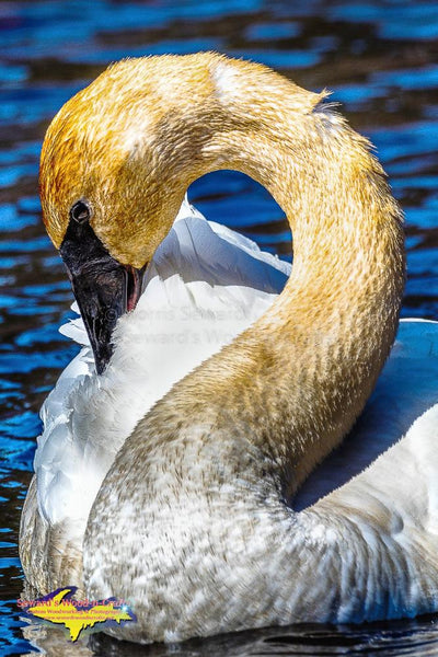 Wildlife Trumpeter Swan Portrait Michigan's Upper Peninsula Photography Home & Office Decor