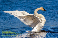 Wildlife Trumpeter Swan Photo Wildlife Images For Sale Home/Office Decor