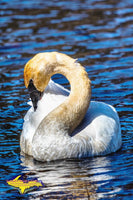 Wildlife Trumpeter Swan Photo Images For Sale