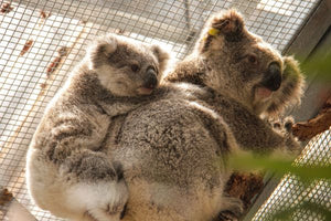 Taronga's Emergency Response to Bushfire Crisis