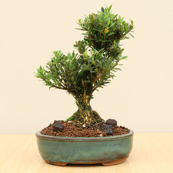 (H) JAPANESE BOX 4 (Buxus microphylla)