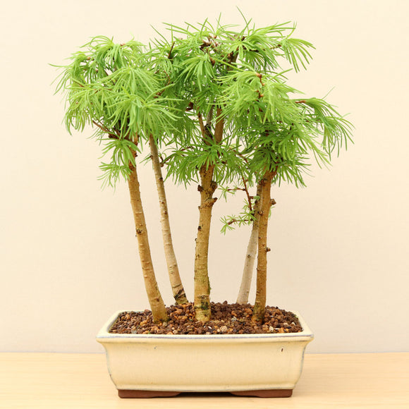 (B) JAPANESE GOLDEN LARCH GROUP 2 (Pseudolarix amabilis)