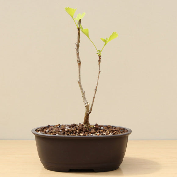 (D) DAWN REDWOOD GROUP 1 (Metasequoia glyptostroboides)