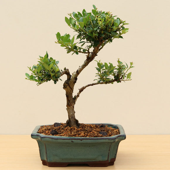 (D) DAWN REDWOOD GROUP 3 (Metasequoia glyptostroboides)