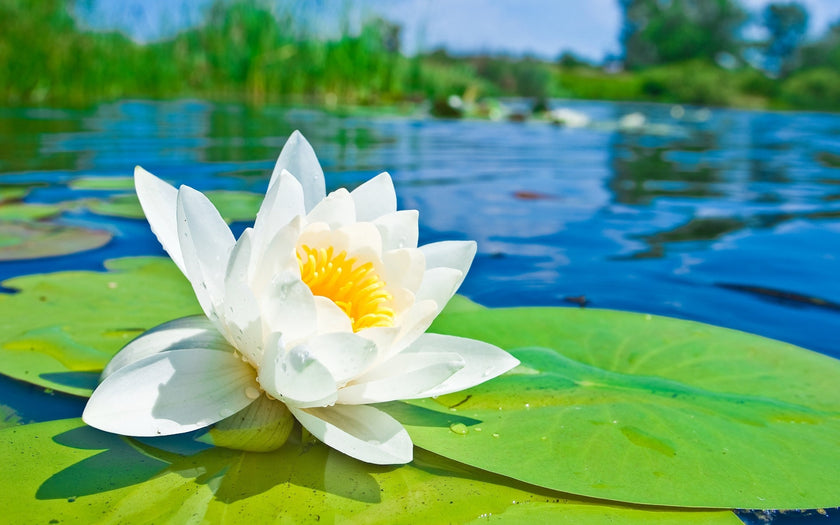 Fleur De Lotus Signification Et Origine L Univers Karma