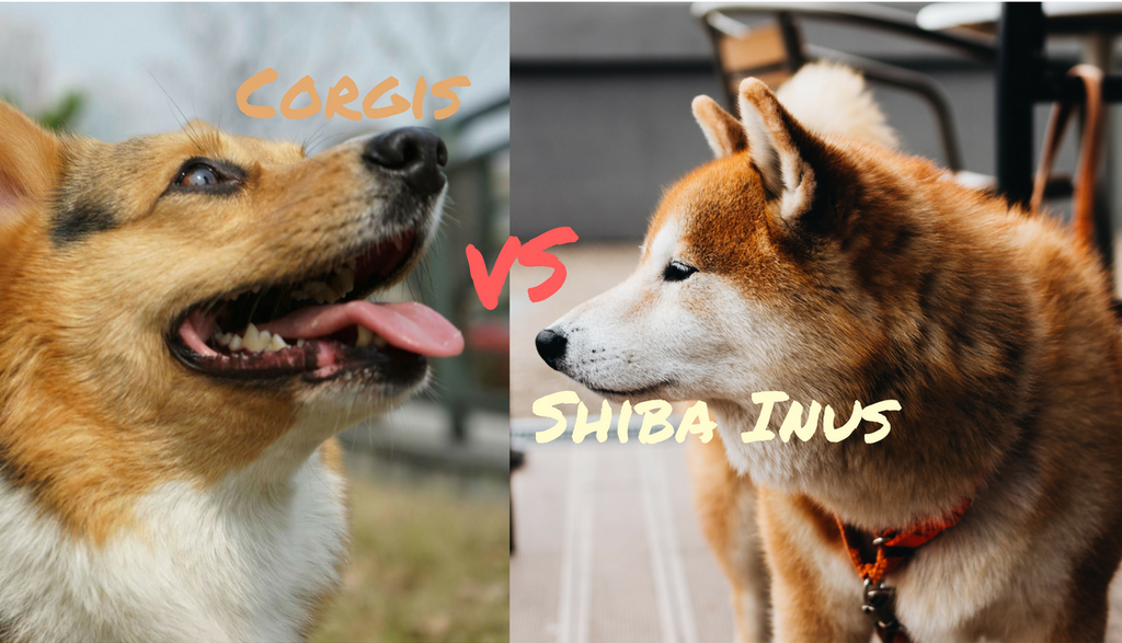 What Is The Different Between Pembroke Welsh Corgi and Shiba Inu