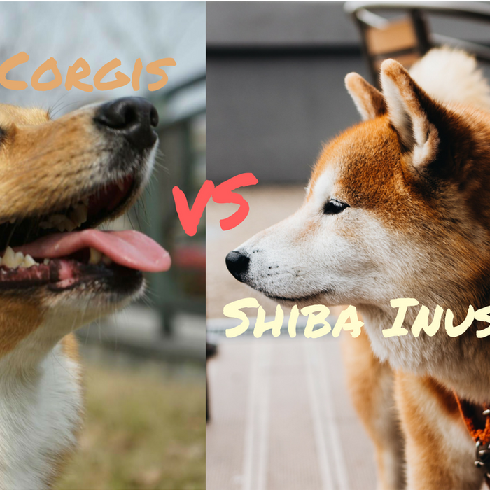 What Is The Difference Between Pembroke Welsh Corgi and Shiba Inu