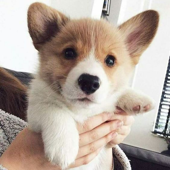 Corgi saying Hi